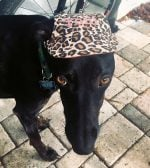 leopard print dog hat