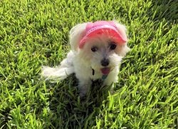 pink bonnet for dogs
